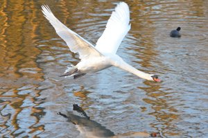 A mute swan makes a low pass